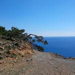 kretische Kiefern am libyschen Meer