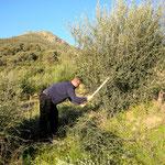 Arbeit im Olivenhain
