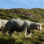 Schafe und Ziege auf der Alp.