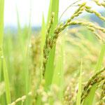 いなかの風 ほおのき 2013.5 *初心者向け農業体験 :もち米 http://inakanokazehonoki.jimdo.com/