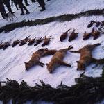 29.12.: Treibjagd in Moos. Rocky konnte ein paar Hahnen hochmachen und einer der Füchse dürfte auch von Rocky aus dem Bau getrieben worden sein