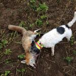 18.01.2014, Bezirksbaujagd Gänserndorf: Diese Fuchs-Fähe konnte Rocky aus einem Kunstbau sprengen