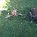 09.10., Muffelriegler Völkermarkt: Rocky hat wieder großes Lob erhalten, habe ihn einem bekannten Hundeführer mitgegeben, der mir erzählte dass Rocky erstklassig gesucht und auch einige Muffel laut angetrieben hat