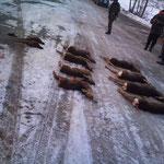 30.12.: Riegeljagd in Neusiedl bei Güssing. Sauen waren keine da, aber Rocky konnte einige Rehe antreiben (was normalerweise nicht in meinem Sinne ist) und wieder einige Hahnen und Hennen hochmachen, wobei viele der Hahnen unbeschossen davon kamen...