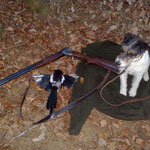 06.03.: Habe beim gemeinschaftlichen Krähen-Jagern in St. Andrä eine Elster erwischt, gute Freiverlorensuchübung für Rocky :-)