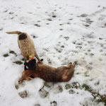 """04.01.2014, Baujagd mit Alexander: """"Stummelruten-Fuchs"""", von Rocky gesprengt und einem dortigen Jäger erlegt"""