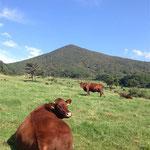 牧草地に群れる放牧牛