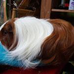 Niulang Von der Priesorther Feste, Meerschweinchen, Sheltie rot weiß