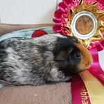 Meerschweinchen Erfolge