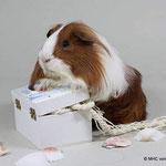 Niulang Von der Priesorther Feste, Meerschweinchen, Sheltie rot weiß / copyright Kerstin Seetzen