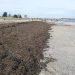 Seegras noch frei von Tang und Müll