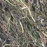 frisches Seegras mit Blasentang