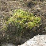 Seegras: aus dem nassen kalten Reich, damit wir es warm und trocken haben