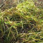 Seegras: Geschenk von Mutter Natur