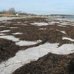 in der Bucht zwischen Neustadt und Lübeck sammelt sich immer viel Seegras