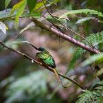 Rotschwanz-Glanzvogel (Rufous-tailed Jacamar)