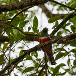 Halsbandtrogon / collared trogon (männlich)