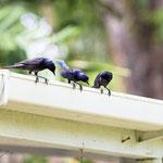 drei neugierige Gesellen auf Adventure Farm in Plymouth auf der man viele angelockte Kolibris und andere Vögel beobachten kann
