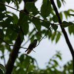 Tobago Forrest Reserve/Kolibri