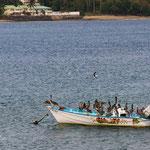 Braunpelikane nehmen gerne ankernde Fischerboote in Beschlag - Great Courland Bay, Plymouth