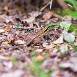 Ameive (Common Ground Lizard) - kommt häufig vor und ist sehr schnell...