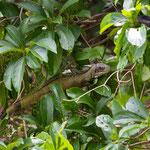 Der Nachbar im Baum rechts vom Balkon (Leguan)