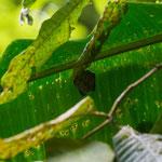 Tobago Forrest Reserve/Fledermaus
