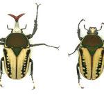 ハリシサスマタツノ(エグジミア f.haroldi)