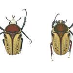ハリシサスマタツノ(エグジミア f.quadrimaculata  intermediate)