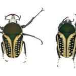ハリシサスマタツノ(エグジミア f.haroldi intermediate)