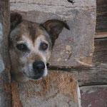 chien dans bergerie