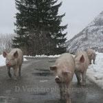 cochons en liberté