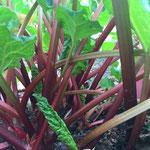 ルバーブの畑④葉の下を覗くと紅色の茎が鮮やか!!