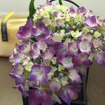 お客様より紫陽花のプレゼント❤