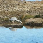 Graureiher auf Jagd am Lac de Pareloup