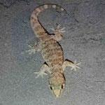 Abentliche Gäste - kleine Geckos