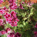 Pelargonium Berkswell Bonanza