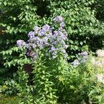 Doldenglockenblume Campanula lactiflora 'Prichard's Variety'