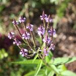 Verbena Hastata wunderschöne kleine Blüten