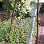 Mädesüß-Filipendula vulgaris blüht sehr lange
