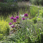 Allium am  Teich