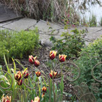 Die ersten Tulpen sind verblüht und die nächsten öffnen Ihre Blüten im Mai