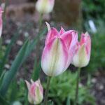 Die letzte Tulpe im Mai fängt mit grünlichen Knospen an und wird dann weiss-rosa
