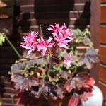 Pelargonium Monique McEwans