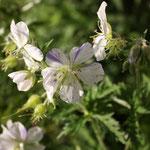 Geranium pratense 'Splish Splash' (Striatum)
