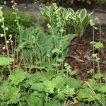 Die Hosta sind schon erwacht und die falsche Alraun /Tellima grandiflora blüht