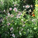 Die Anemonen fangen im August an zu blühen