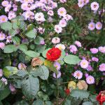 Rosa Herbstaster mit letzter Rosenblüte Oktober 2013