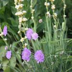 Sisyrinchium mit Sciabosa/Binsenlilie mit Witwenblume