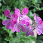 Pelargonium Capitaltum PAC